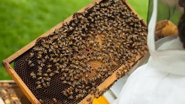 Padły pszczoły z pięćdziesięciu uli. Policja bada, czy ktoś je otruł