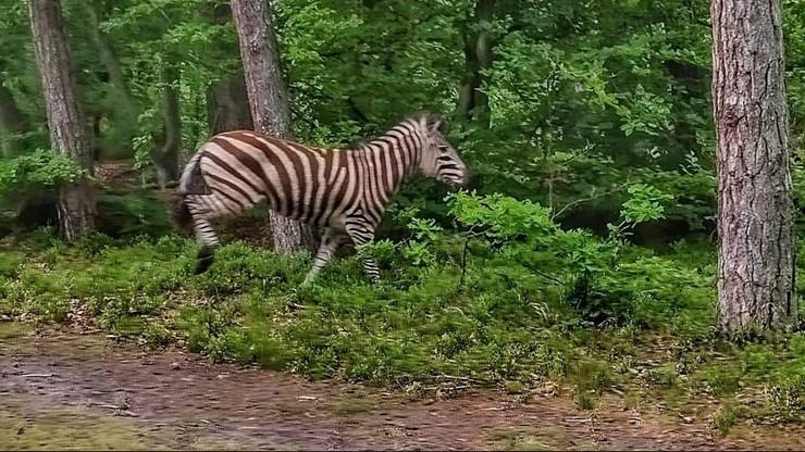 """Zebra w lesie pod Elblągiem. """"Bardzo szybko ociepla nam się klimat"""" [ZDJĘCIA]"""